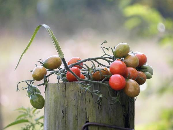 Photograph - Tomatoes On Top by Tina M Wenger