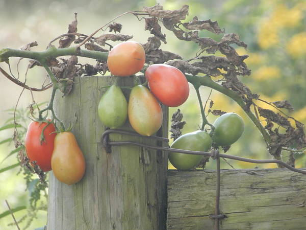 Photograph - Tomatoes Ready For Its Closeup by Tina M Wenger