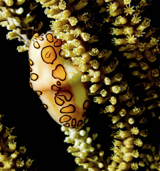 Photograph - Tongue On Soft Coral by Jean Noren