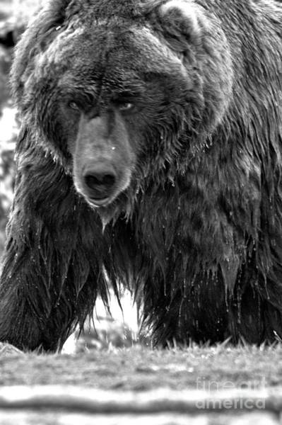 Photograph - Top Of The Alaskan Food Chain Black And White by Adam Jewell