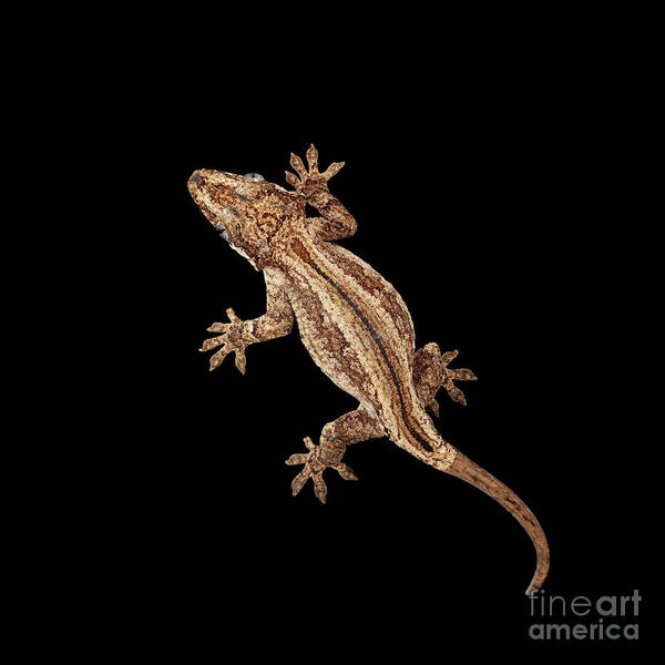 Photograph - Top View Of Gargoyle Gecko, Rhacodactylus Auriculatus Staring Isolated On Black Background. Native T by Sergey Taran