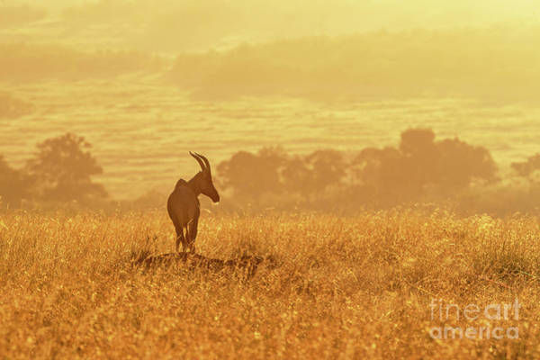 Wall Art - Photograph - Topi In Early Morning Sunlight by Jane Rix