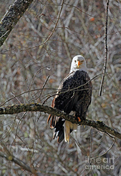 Photograph - Topton Eagle by Jennifer Robin