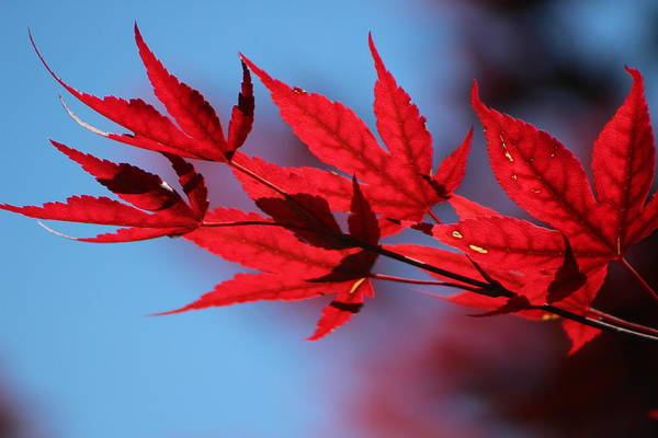 Photograph - Torch Red Japanese Maple Leaves On Malibu Blue by Colleen Cornelius