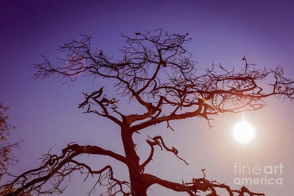 Wall Art - Photograph - Torrey Pine Tree Sun Flare by Edward Fielding