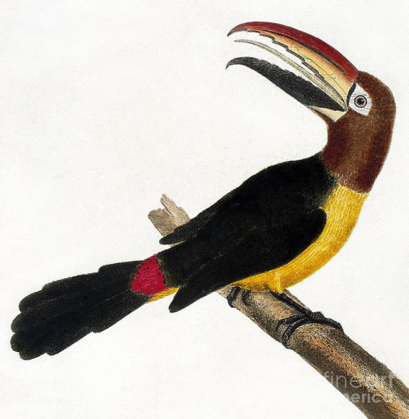Wall Art - Painting - Toucan by European School