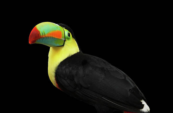 Keel-billed Toucan Photograph - Toucan by Paul Taylor