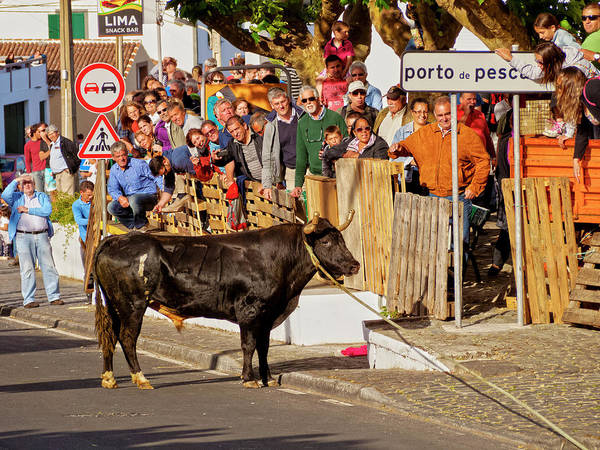 Wall Art - Photograph - Tourada A Corda Bullfighting On A Rope At Street Sao Mateus Da Calheta Terceira Island Azores by imageBROKER - Karol Kozlowski