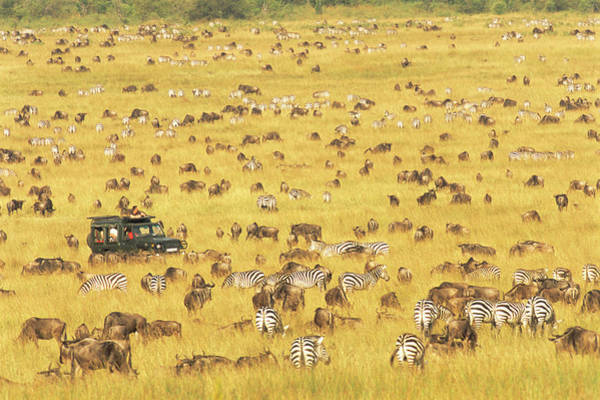 People Watching Photograph - Tourists Watching Wildebeest And Zebra by James Warwick