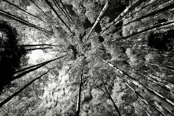Photograph - Towering Aspen Trees by Robert Woodward