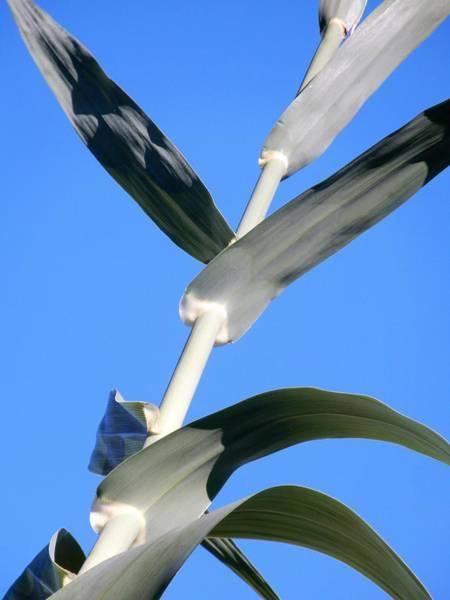 Photograph - Towering Big Long Leaves by Tina M Wenger