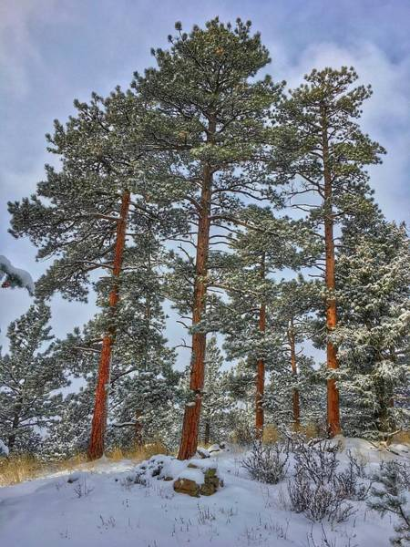 Photograph - Towering Pine by Dan Miller