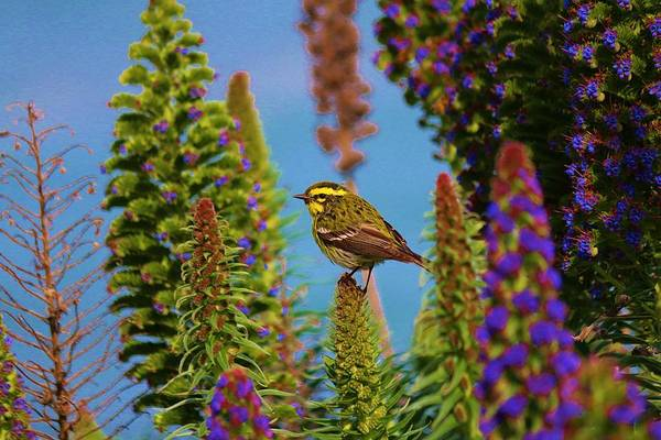 Photograph - Townsend's Warbler - 3 by Christy Pooschke