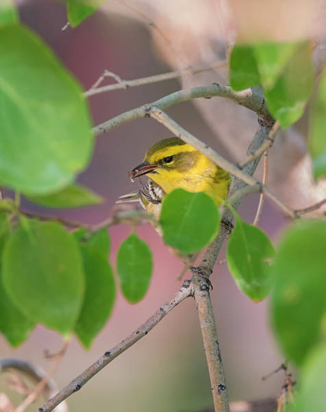 Just Birds Photograph - Townsends Warbler With A Bug by Loree Johnson