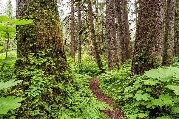 Wall Art - Photograph - Trail Through An Old Growth Forest by John Hyde