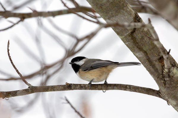 Wall Art - Photograph - Tranquil Winter Chickadee by Betsy Knapp