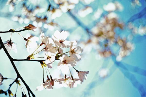 Petal Photograph - Translucent Petals by Moaan