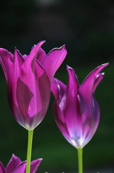 Photograph - Translucent Tulips by Susie Rieple