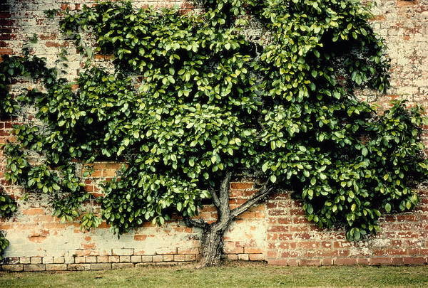 Brick Wall Photograph - Tree Against Brick Wall by Pete Turner