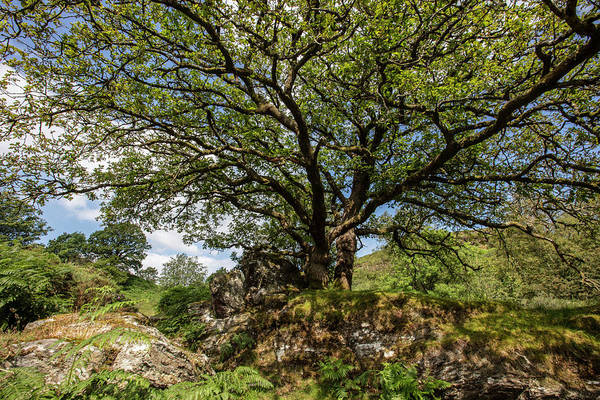 Photograph - Tree At Dolwyddelan Castle In Wales  by John McGraw