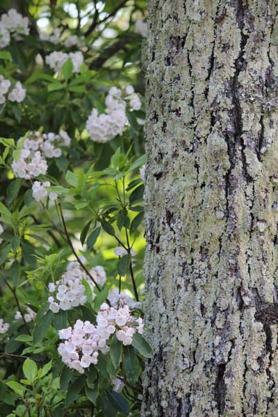 Kalmia Photograph - Tree Bark And Mountain Laurel 2018c by Cathy Lindsey