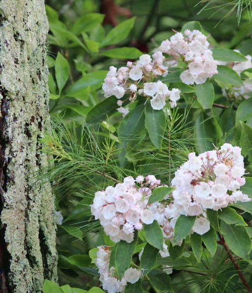 Kalmia Photograph - Tree Bark And Mountain Laurel by Cathy Lindsey