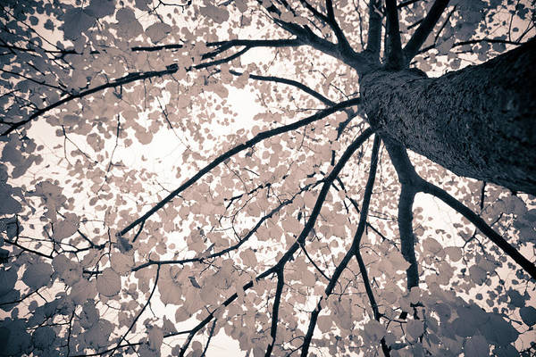 Canopy Photograph - Tree Branches by Gianlucabartoli