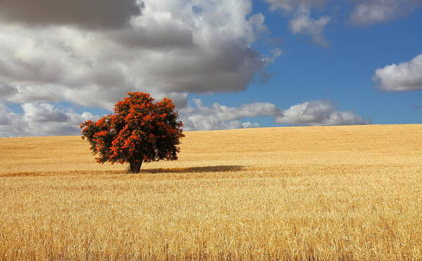 Photograph - Tree In A Field by Danny Reardon Of Jomoboy Photography
