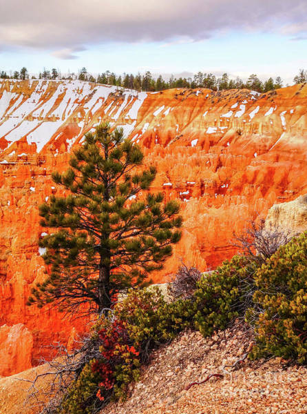 Tree In Bryce Canyon Art Print by Bob Lentz