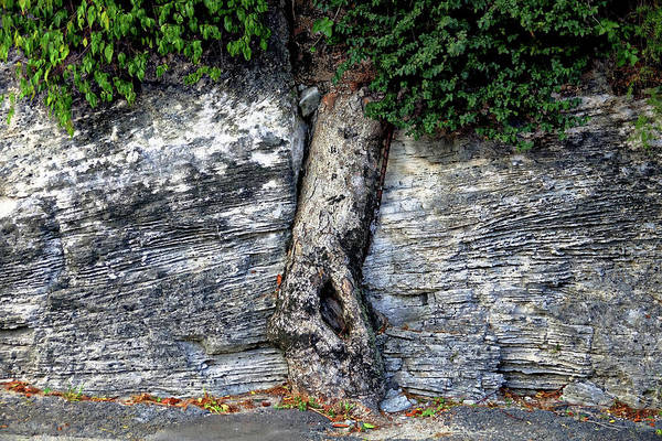 Photograph - Tree In Stone by Rick Lawler