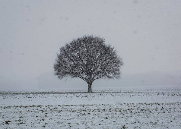 Photograph - Tree In The Snow by M C Hood