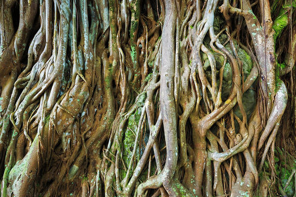 Tree Roots, Onomea Bay, Hamakua Coast Art Print by Russ Bishop