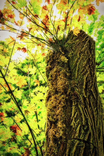 Photograph - Tree Stump With New Growth  by Stuart Litoff