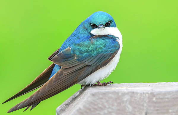 Photograph - Tree Swallow by Dan Sproul