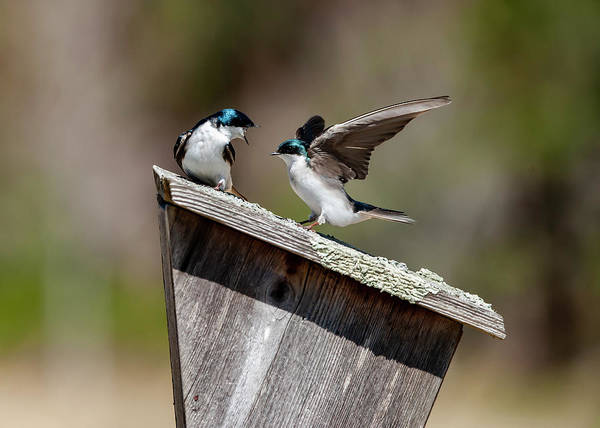 Photograph - Tree Swallow Dispute by Cathy Kovarik