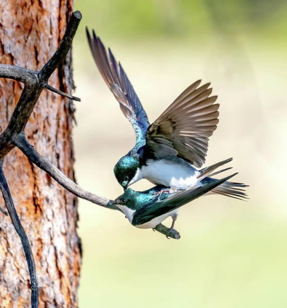 Photograph - Tree Swallow Love by Judi Dressler