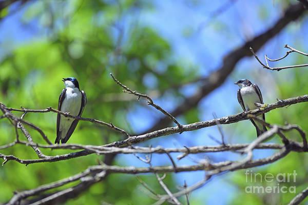 Photograph - Tree Swallow Twosome  by Kerri Farley