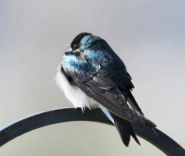 Wall Art - Photograph - Tree Swallow Winter Morning by Jennie Marie Schell