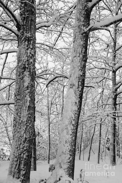 Photograph - Tree Trunks by Alana Ranney