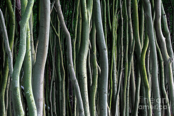 Photograph - Tree Trunks by Arterra Picture Library