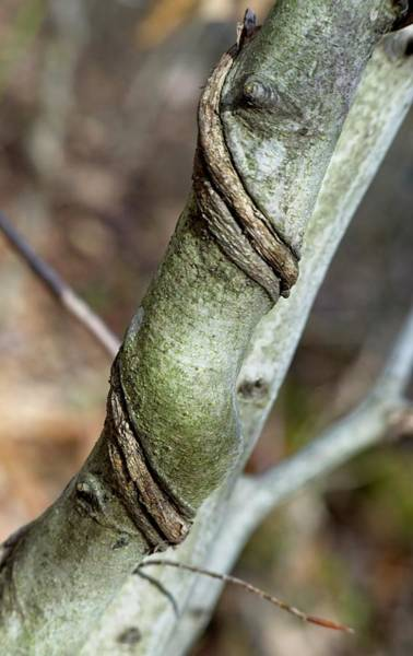 Wall Art - Photograph - Tree With Vine Twisted Around It by Douglas Barnett