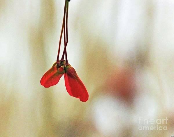 Photograph - Tree59 Samaras by Lizi Beard-Ward