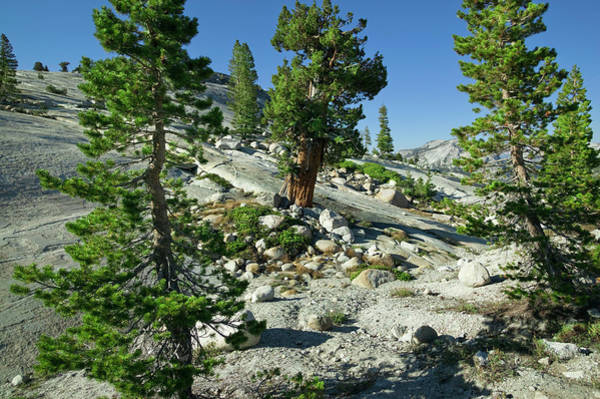 Tioga Photograph - Trees Growing At High Elevation by Apostrophe Productions