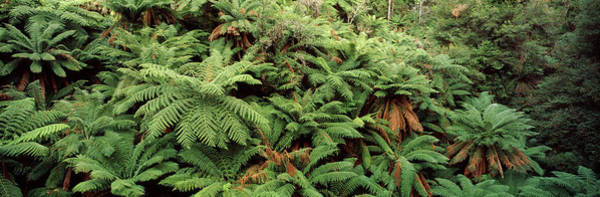 Wall Art - Photograph - Trees In A Forest, Tarra-bulga National by Panoramic Images