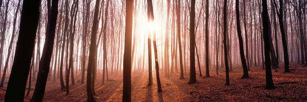 Wall Art - Photograph - Trees In The Forest, Backlit by Panoramic Images