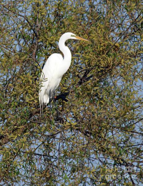 Wall Art - Photograph - Treetop Great Egret by Steve Gass