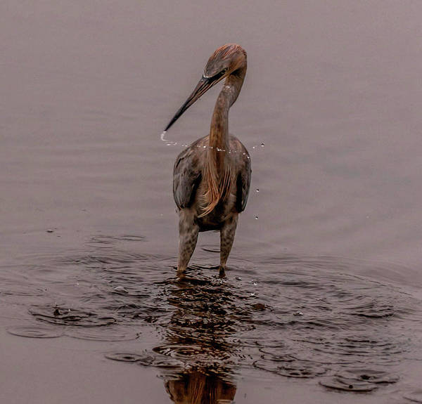 Photograph - Tri Colored Heron by Dorothy Cunningham