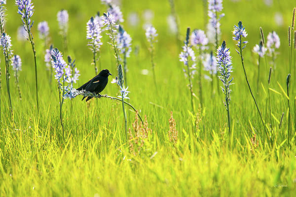 Photograph - Tricolored Blackbird by Leland D Howard