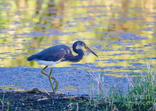 Wall Art - Photograph - Tricolored Heron Along The Pond by Carol Groenen