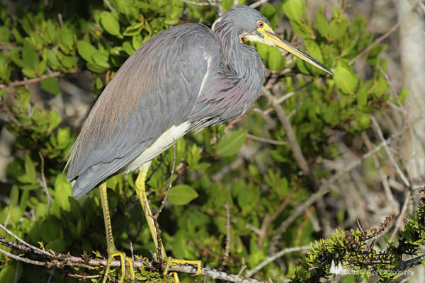 Photograph - Tricolored Heron by David Cutts